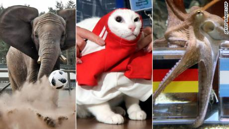 "Nelly the Elephant, Achilles the Cat and Paul the Octopus are three creatures considered to be ""animal oracles."""