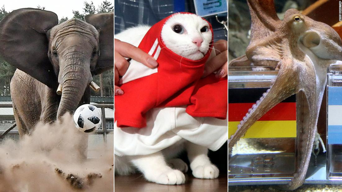 world cup fortune telling animals achilles the cat vs paul the