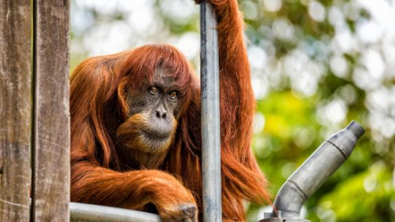 62-year-old Puan has played a vital role in ensuring the continued survival of the critically endangered Sumatran orangutan.