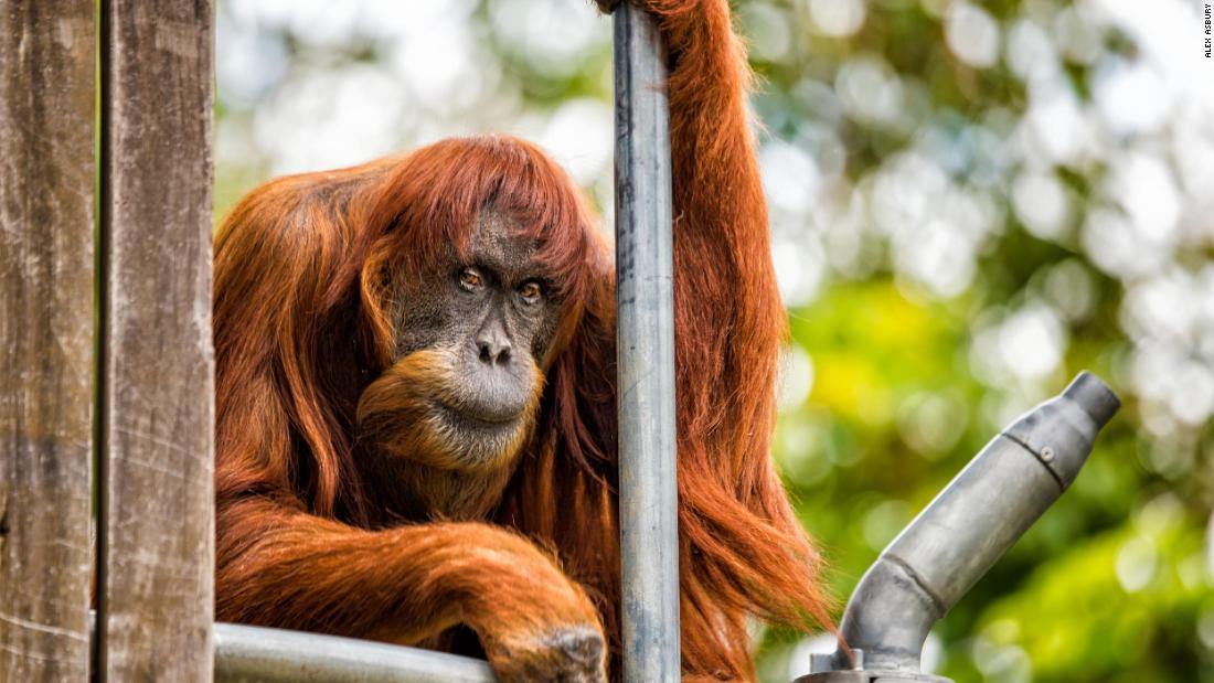 Puan, oldest known Sumatran orangutan, dies in Australia