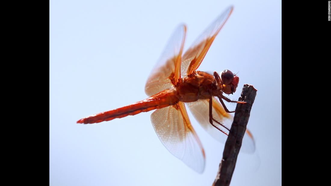 A dragonfly called a flame skimmer rests on a small branch in Topanga, California, on Monday, June 18.