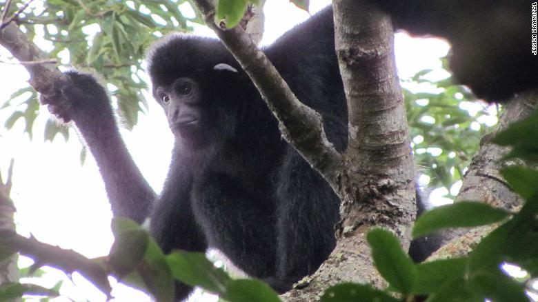 A male Hainan crested gibbon.