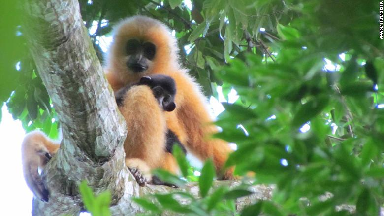A female Hainan gibbon with an infant. The imperial Chinese revered gibbons.