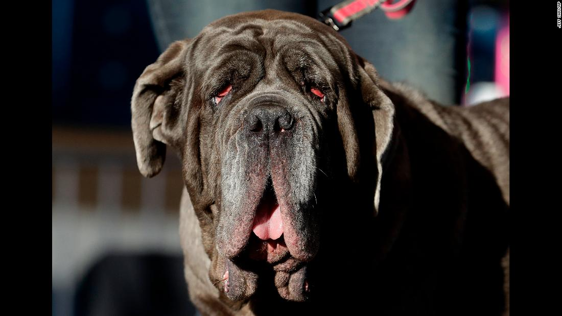 Martha, a Neapolitan Mastiff who won the 2017 World's Ugliest Dog Contest, appears onstage before learning the crown would be snatched from her massive head.
