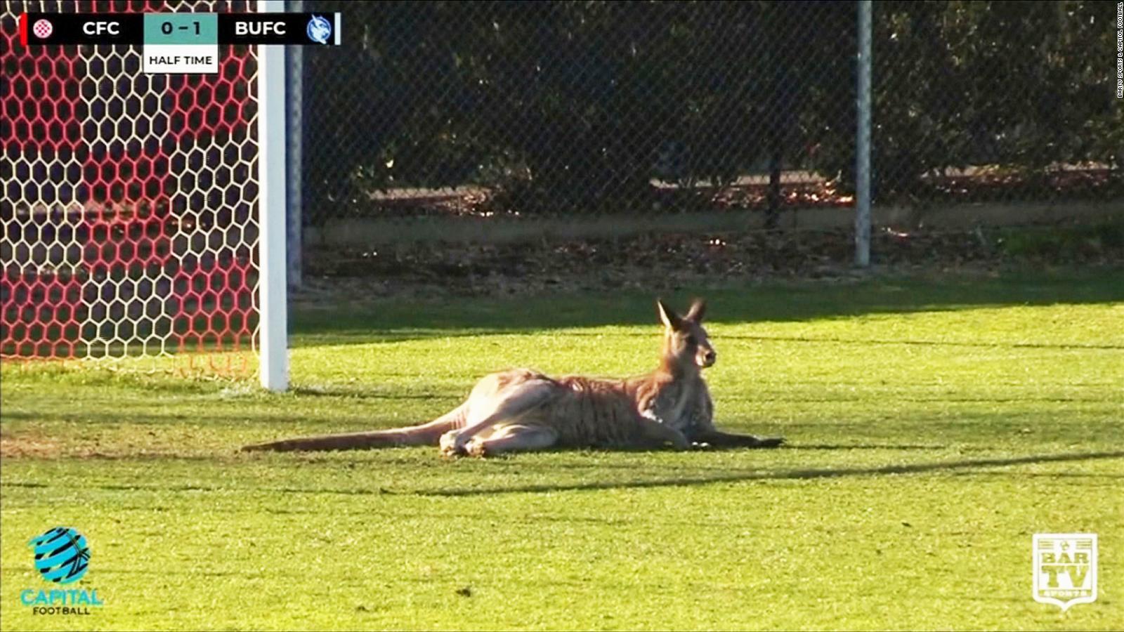 Картинки по запросу Mobs of kangaroos take to streets of Australia's capital over food shortages
