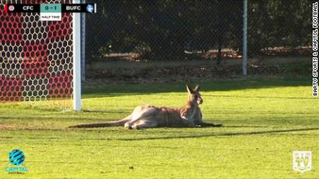 kangaroo football match pitch australia vo nr_00001807
