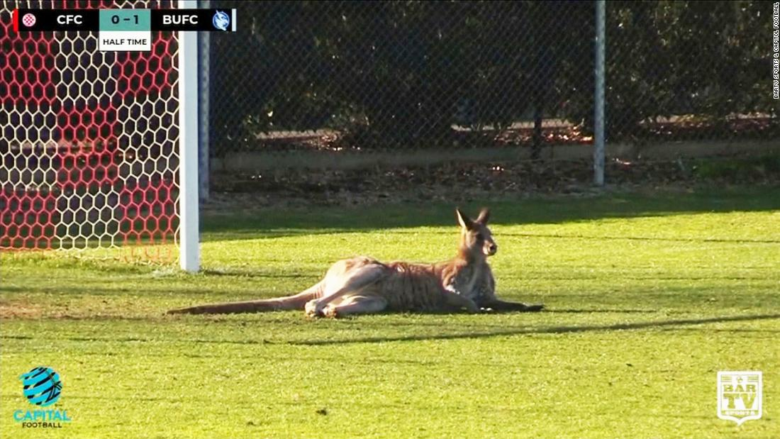 Mobs of kangaroos take to streets of Australia's capital over food shortages