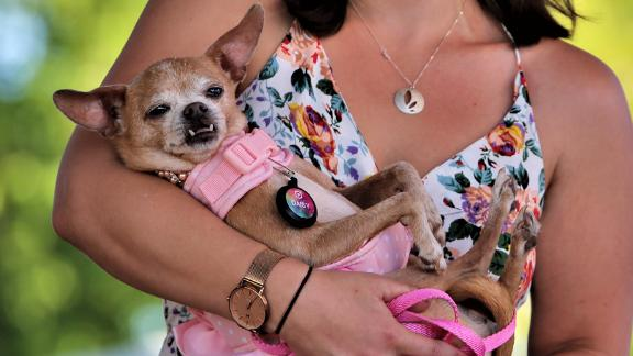 At 14 years old, Daisy is one of the elder stateswomen of the competition (that's 98 in dog years). Here owner Whitney Sherman cradles her codger Chihuahua mix.