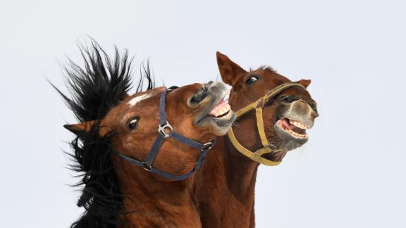 The study carried out by the University of Sussex identified that horses can make 17 facial expressions.