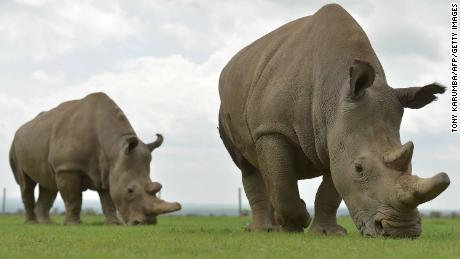 Scientists create 'test-tube rhino' in hopes of saving dying species