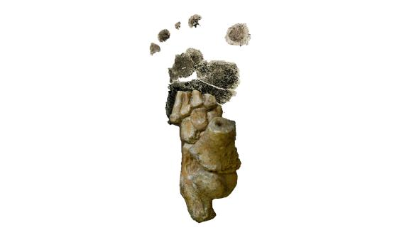 The 3.32 million-year-old Australopithecus afarensis foot from Dikika, Ethiopia, superimposed over a footprint from a human toddler.