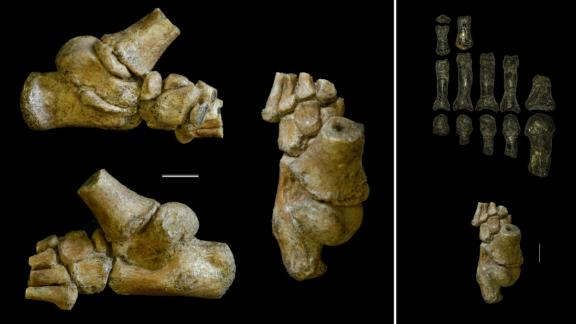 Left images: The 3.32 million-year-old foot from an Australopithecus afarensis toddler shown in different angles. Right images: The child