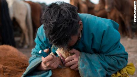 Mongolian herder removing first premolar, or wolf tooth, from a young horse during the spring roundup using a screwdriver.