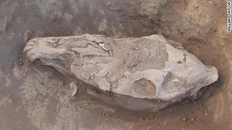 The skull of a ritually-sacrificed horse from Bayankhongor, central Mongolia.