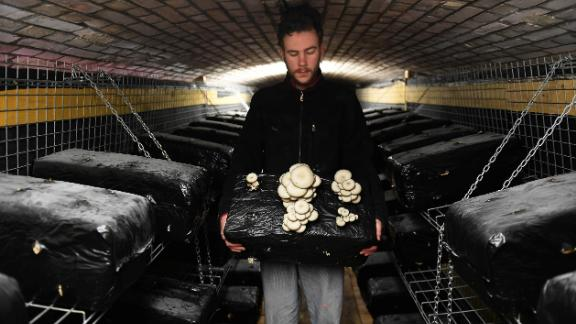 """Bunker Comestible, France -- Inside """"the edible bunker"""" a worker harvests oyster mushrooms. The company says the carbon dioxide generated by mushrooms in the bunker helps its green produce to grow."""