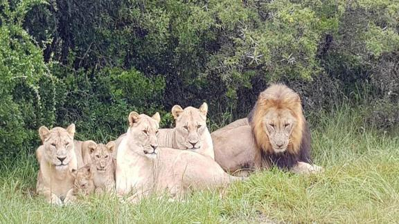 File photo of a pride of lions at the Sibuya Game Reserve in South Africa. Investigators say lions killed poachers who snuck onto the reserve to hunt rhinos.