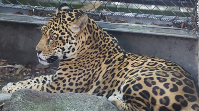 jaguar escapes zoo enclosure kills 9 other animals cnn