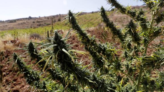 A cannabis field is seen near a vineyard on the outskirts of Deir al-Ahmar in the Bekaa Valley, one of the poorest regions in Lebanon and notorious for its cannabis production.