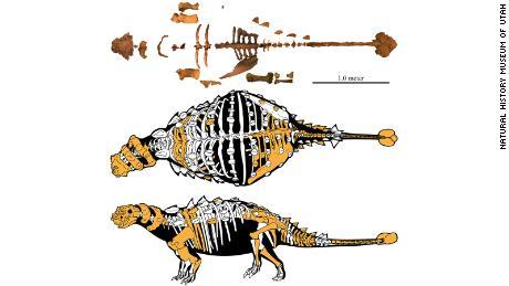 The skeleton of Akainacephalus johnsoni, represented by preserved bones.