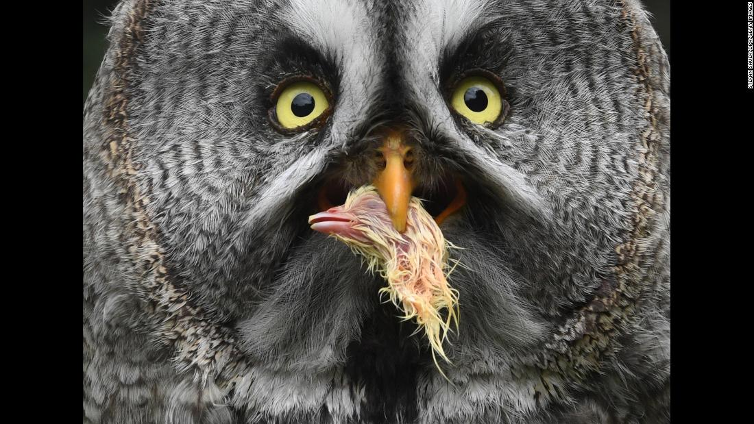 An owl eats the head of a dead chick at a zoo in Stralsund, Germany, on Thursday, July 12.