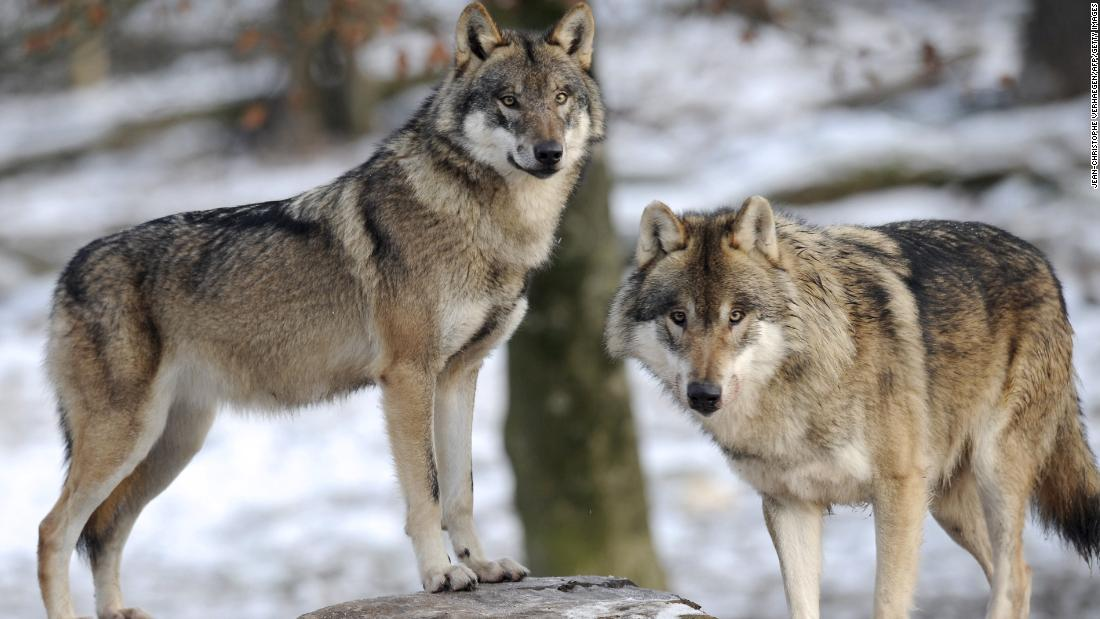 Outcry as Trump admin. removes gray wolf from endangered species list
