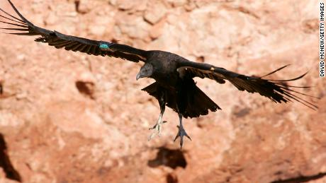 PAGE, AZ - MARCH 24:  A rare and endangered California condor lands on a ledge in Marble Gorge, east of Grand Canyon National Park, on March 24, 2007 west of Page, Arizona. Condor managers taking blood samples from the 57 wild condors in Arizona both before and after hunting season find that all 57 condors test positive for contamination by lead matching the isotropic fingerprint of the lead commonly used in ammunition, and that those levels rise significantly by the end of the season. Many of the condors become so sick that biologists must re-capture them for lead-poisoning treatments. Several die each year. Experts believe the condors are ingesting the lead as they scavenge gut piles left behind hunters because lead bullets shatter and fragment inside the kill. Officials in Arizona are encouraging hunters to use copper bullets instead of lead-based ammunition and in California, a coalition of conservation groups has sued the California Fish and Game Commission in an effort to force a ban on lead ammunition in Condor ranges. The condors in the Marble Canyon and Vermillion Cliffs area easily fly as far west as Lake Mead, by way of the Grand Canyon, and to Zion National Park and far into Utah. With a wingspan up to 9 ? feet, they are the largest flying birds in North America. In 1982, when the world population of California condors dropped to only 22 and extinction was believed eminent, biologist captured them and began a captive breeding and release program which has increased the total population to 278, of which 132 now live in the wild in Arizona, California, and Baja California, Mexico.  (Photo by David McNew/Getty Images)