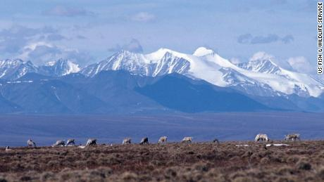 Caribou graze on the coastal plain of the Arctic National Wildlife Refuge, with the Brooks Range in the background.