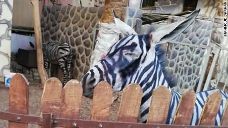 A zoo is accused of painting a donkey and passing it off as a zebra