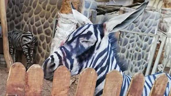 Is this a zebra or donkey? The zoo says zebra but the visitor says donkey.