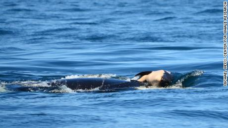 A mourning orca mom carried her dead baby for days through the ocean