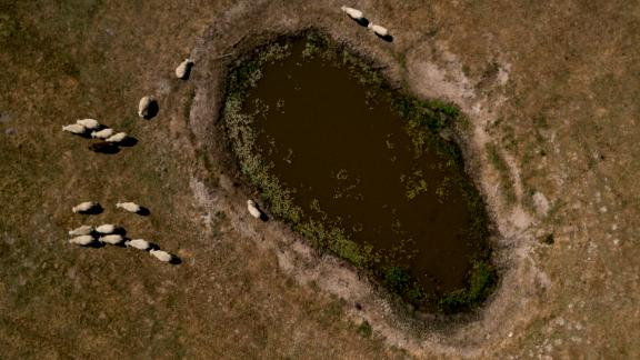 Sheep stand around a waterhole in the middle of a sun-bleached field in Garding, Germany, on Tuesday, July 24.
