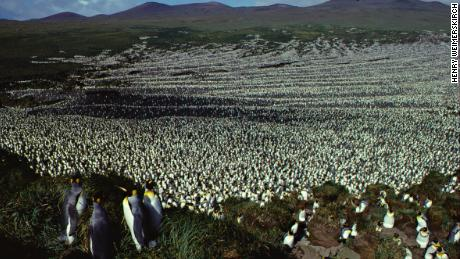 The king penguin colony on Île aux Cochons in 1982, when the population was more than two million.