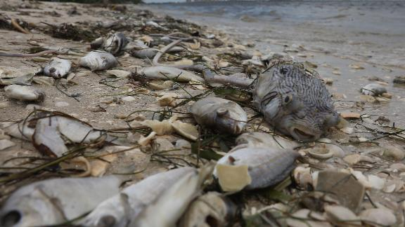 Fish are seen washed ashore Florida's Sanibel causeway after dying in a red tide on August 1.
