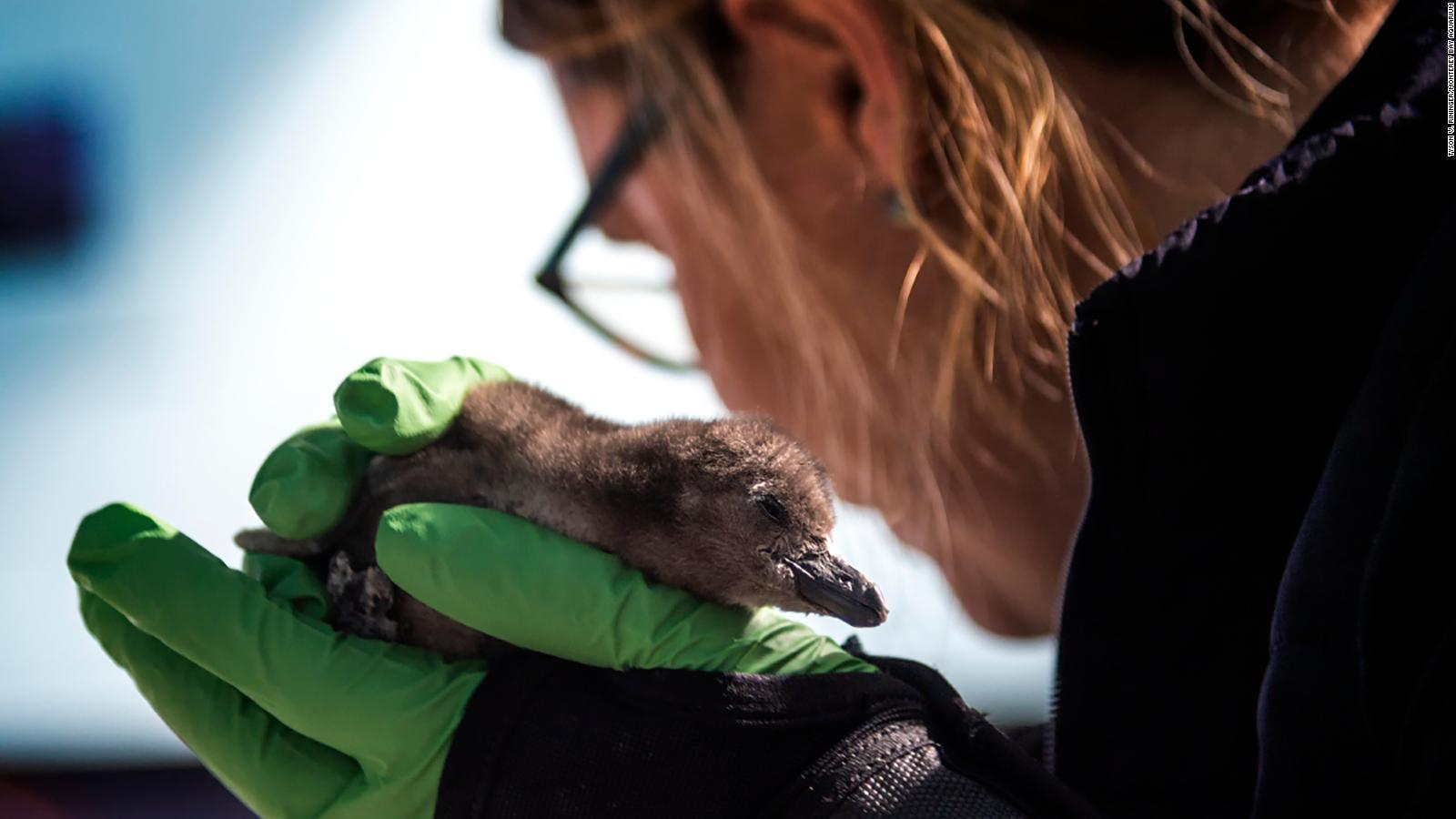 monterey bay aquarium needs a name for its new penguin chick cnn