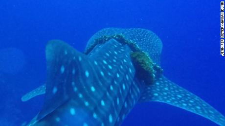 A family out snorkeling freed a whale shark caught in a heavy fishing rope