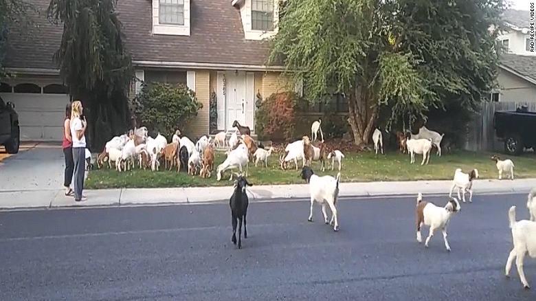 herd of rental goats invade boise neighborhood baaaaaaad goat puns