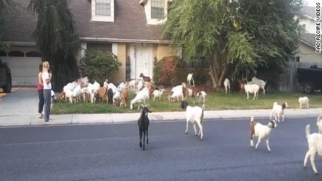 More than 100 goats invade Boise neighborhood