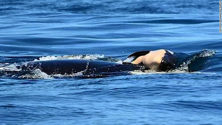 Whale carries dead calf for more than 10 days
