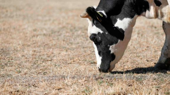 A cow tries to find food on a dry pasture in Ballendorf, Germany.