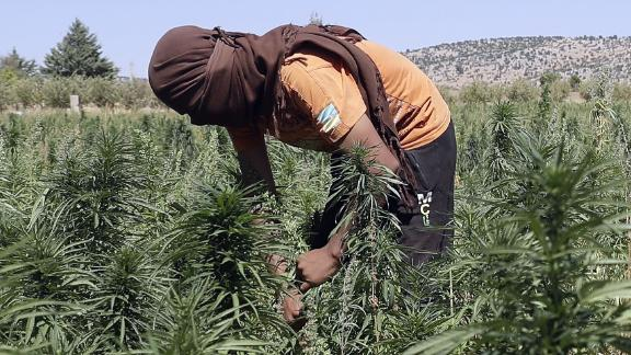 Workers cultivate plants at a cannabis plantation in the village of Yammouneh in Lebanon's eastern Bekaa Valley on July 23, 2018.. - The sun-soaked cannabis fields stretch to the horizon, just out of reach of a nearby army checkpoint. Its production is lucrative in Lebanon, but growers fear legalising its medical use could slash profits. Joseph Eid/AFP/Getty Images