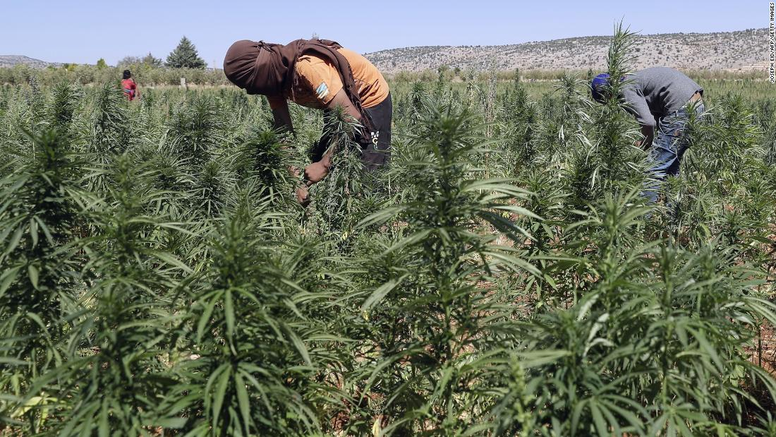 Climate change is turning the Middle East's breadbasket into a cannabis farm