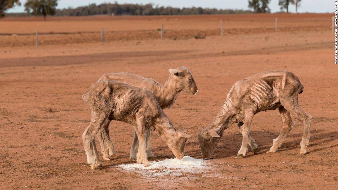 Farm animals suffer in Australian state's '100% drought'