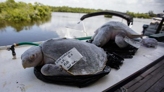 Two turtles, believed to have been killed by red tide.
