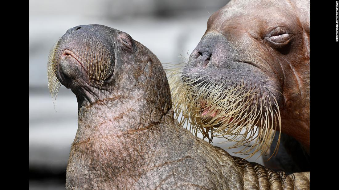 A walrus and her young calf are presented to the public at the Hagenbeck Zoo in Hamburg, Germany, on Friday, August 3.