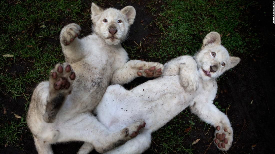 A pair of 4-month-old white lions play together Tuesday, August 7, at the Altiplano Zoo in Tlaxcala, Mexico. Just over a dozen white lions remain in the wild, according to the Global White Lion Protection Trust, though several hundred are held in zoos around the world.