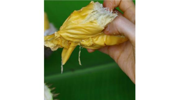 Just like custard: In Malaysia, meanwhile, people prefer to let the durian ripen fully on the tree and drop naturally to the ground. At that point, the pH has dropped, the fat content has increased, and the aromatic bulbs inside will smell more strongly of sulfur as they ripen, she adds.
