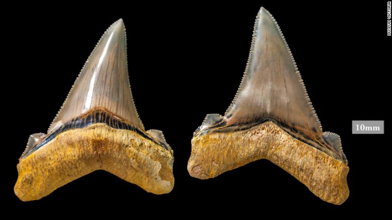 Great Jagged Narrow-Toothed Shark teeth, found in Australia.