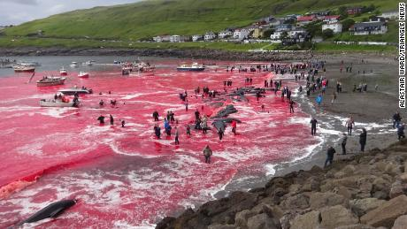 A whale hunt in the Faroe Islands on July 30 has attracted global attention.