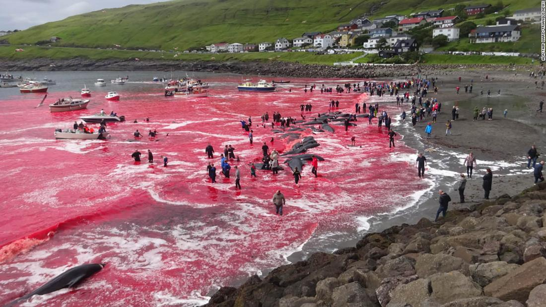 Red Sea Whaling In The Faroe Islands