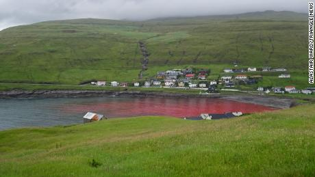 Water in the cove where the whaling took place is seen red with blood from the hunted animals.